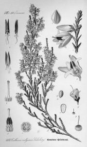 358px-Illustration_Calluna_vulgaris0