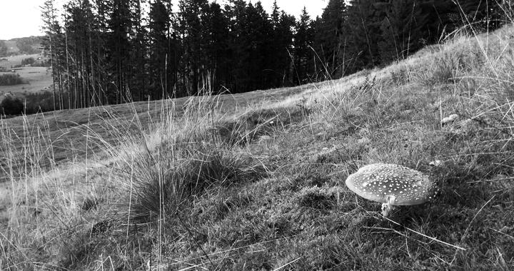 Ein Fliegenpilz auf dem Gäbris. Auch der Fliegenpilz wird ab und zu wegen seiner bewusstseinserweiternden Wirkung konsumiert. (Bild: upz)